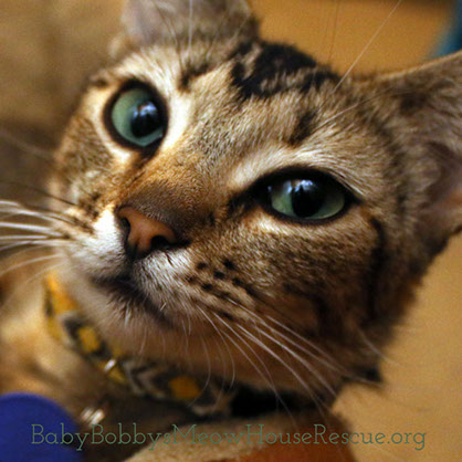 Cat Rescue Beautiful Tabby with Green Eyes