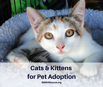Cats and Kittens for Pet Adoptions at BBMH Rescue!