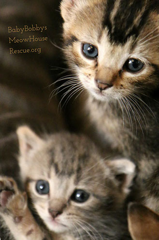 Photograph of Cute Tabby Kittens