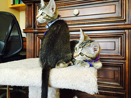 Two Tabby Kittens Adopted in Forever Home!